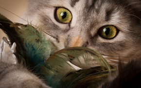 Picture cat, eyes, look, feathers, muzzle, kitty