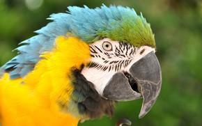 Picture bird, beak, parrot, Ara