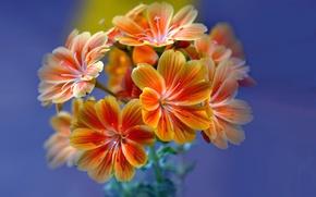 Picture flowers, petals, inflorescence, Leviziya