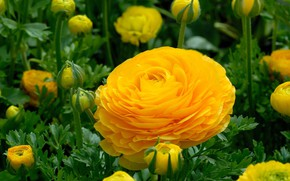Picture greens, summer, flowers, freshness, beauty, buds, flowerbed, flowering, Ranunculus, Asian Buttercup, yellow flower, bright color