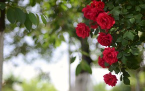Picture red, Bush, roses