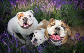 Picture field, dogs, summer, joy, flowers, emotions, portrait, positive, puppy, walk, trio, funny, muzzle, the expression, …