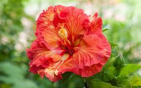 Picture hibiscus, petals, flower