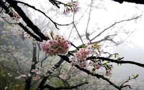 Picture flowers, tree, gentle, Sakura