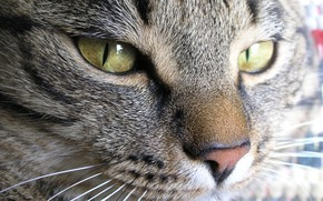 Picture cat, macro, the face of a cat