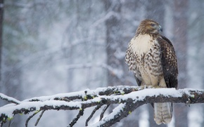 Wallpaper winter, snow, bird, predator, branch, hawk, Red-tailed Buzzard