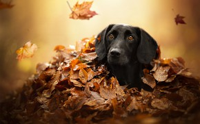 Wallpaper dog, look, shelter, face, autumn, leaves