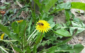 Picture bee, dandelion, spring