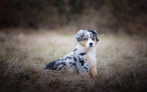 Wallpaper field, autumn, grass, nature, dog, puppy, sitting, spotted, Australian shepherd, Aussie