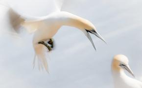 Picture bird, wings, beak, the Northern Gannet