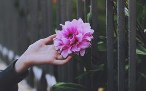 Picture flower, petals, pink