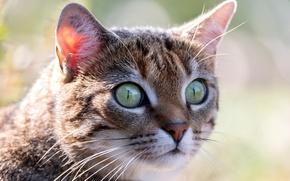 Picture cat, eyes, look, macro
