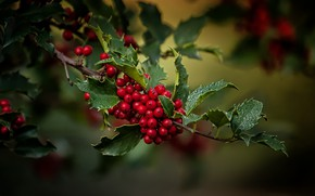 Picture leaves, macro, berries, branch, Holly, Holly