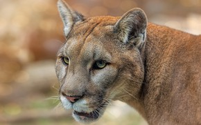 Picture portrait, look, wildlife, Puma, background, face, wild cats, Cougar, bokeh, cats, close-up, eyes