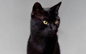 Picture cat, mustache, look, portrait, contrast, light background, ears, green eyes, black cat, hair Shine