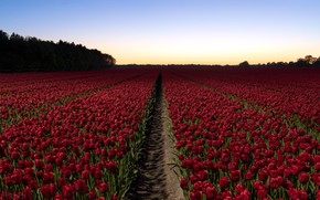 Picture field, flowers, tulips