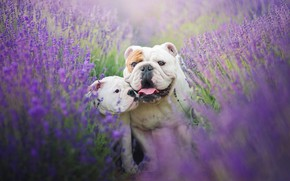 Wallpaper field, language, dogs, summer, flowers, mood, two, puppy, two, lavender, attachment, English bulldog, the bulldogs, ...
