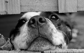 Wallpaper dog, look, black and white, nose, face, monochrome