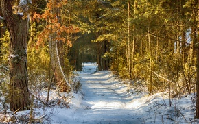Picture Winter, Trees, Snow, Forest, Trail, Winter, Snow, Forest, Trees, Path, Yellow leaves, Yellow leaves