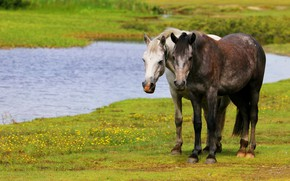 Picture greens, summer, grass, water, flowers, nature, river, shore, glade, two, horses, spring, horse, brunette, meadow, …