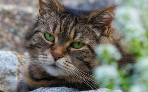 Picture cat, look, portrait, striped