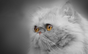 Wallpaper eyes, look, portrait, muzzle, monochrome, Persian cat