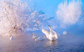 Picture winter, frost, snow, pond, river, couples, swans