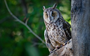 Picture forest, eyes, owl, bird