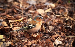 Picture leaves, birds, bokeh, Chaffinch