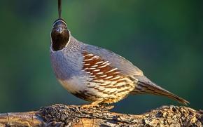 Picture nature, bird, common quail crested