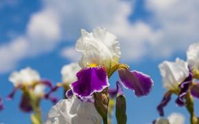 Picture flowers, spring, irises, flowering