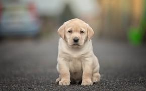 Picture look, dog, baby, puppy, bokeh, Labrador Retriever