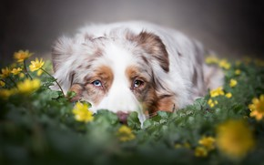 Picture look, face, flowers, Australian shepherd, Aussie