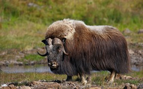 Picture wool, horns, mammal, musk ox