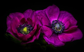 Picture macro, petals, anemones