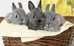 Picture grey, basket, rabbits, kids, trio