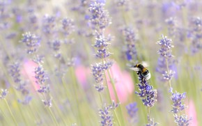 Picture flowers, nature, insect, bumblebee, lavender