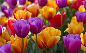 Picture bright, tulips, buds