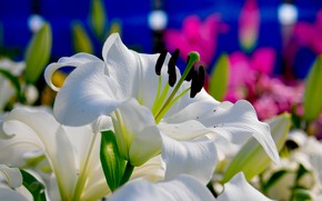 Picture white, flowers, Lily, flowering