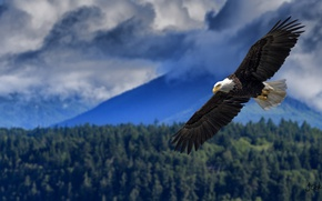 Picture height, wings, flight, bald eagle, the scope, bird of prey