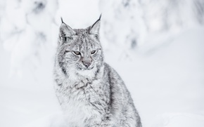 Picture face, predator, fur, lynx, sitting, wild cat