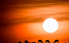 Picture the sky, the sun, sunset, silhouettes, antelope, the Topi antelope