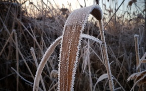 Picture Macro, Winter, Frost, Cold, Gulkevichi, Reed