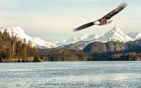 Wallpaper sunlight, bald eagle, mountains, flight, sea, flying, bird, snow