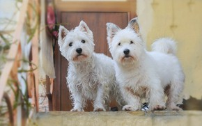 Picture Dogs, Dogs, The West highland white Terrier