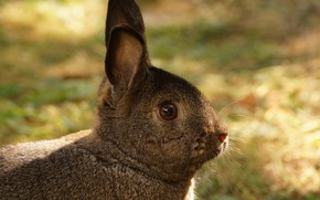 Picture grass, rabbit, ears, funny