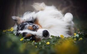 Picture face, flowers, Australian shepherd, Aussie
