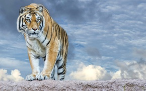 Picture the sky, look, face, clouds, tiger, predator, paws, striped