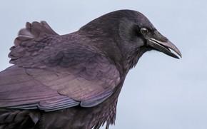 Picture bird, beak, Raven