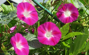 Picture summer, pink, bindweed, mamala ©
